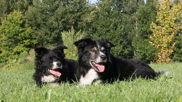 Two dogs lying on grass Royalty-free stock video