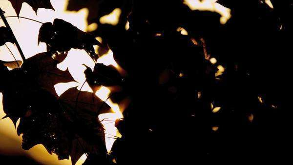 Sun flare behind moving autumn colored leaves shot on RED EPIC Royalty-free stock video