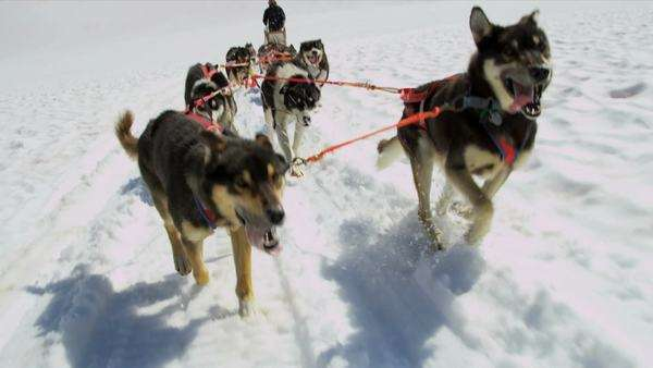 Working Alaskan Malamute dogs with high endurance they are frequently used for tours and dog sled adventures, USA, RED EPIC Royalty-free stock video