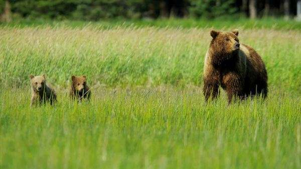Brown female Bear Ursus arctos, keeping guard over her playful cubs Wilderness area Kenai   National Park, Alaska, USA shot on RED EPIC Royalty-free stock video