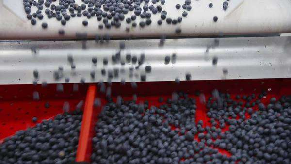 Blueberry processing plant Royalty-free stock video