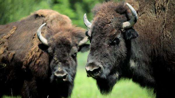 Bison shedding winter coat feeding grasslands summer time Royalty-free stock video