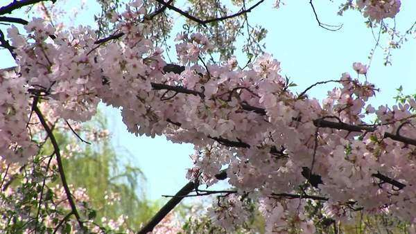 Cherry blossoms blow gently with the wind in Washington D.C. Royalty-free stock video