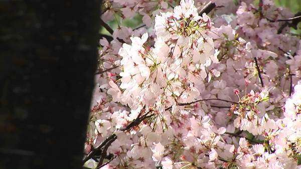 A wind gently moves a branch full of pink Cherry blossoms. Royalty-free stock video