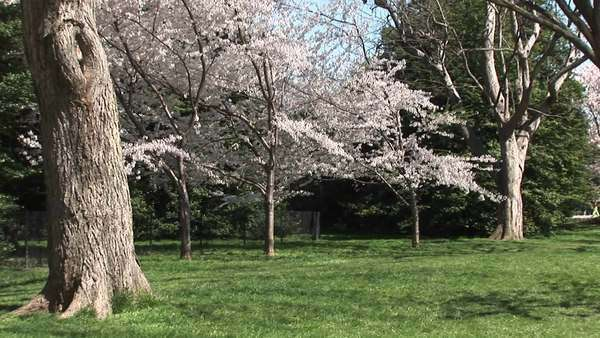 Cherry blossoms brighten this beautiful park. Royalty-free stock video