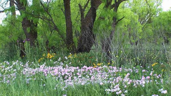 Medium-shot of pink and yellow Texas wildflowers. Royalty-free stock video