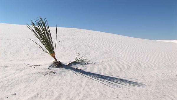 Medium shot of a plant at White Sands National Monument in New Mexico. Royalty-free stock video