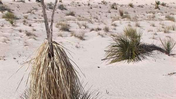 Pan-up of a tall, dry plant at White Sands National Monument in New Mexico. Royalty-free stock video