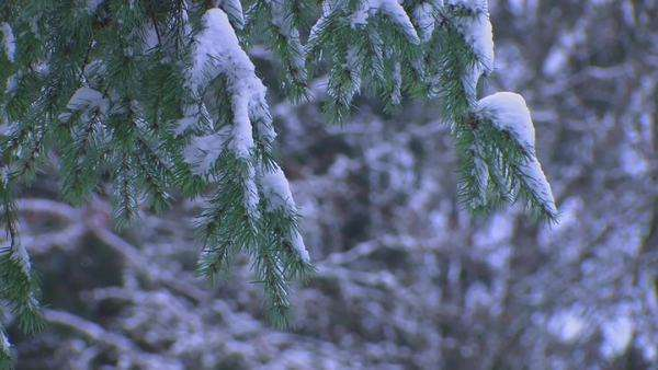 Snow covers the branches of an evergreen tree. Royalty-free stock video