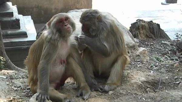 Monkeys grooming each other at the Monkey Temple in Kathmandu, Nepal Royalty-free stock video