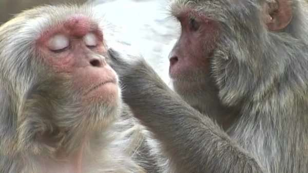 Close up of monkeys grooming each other at the Monkey Temple in Kathmandu, Nepal Royalty-free stock video