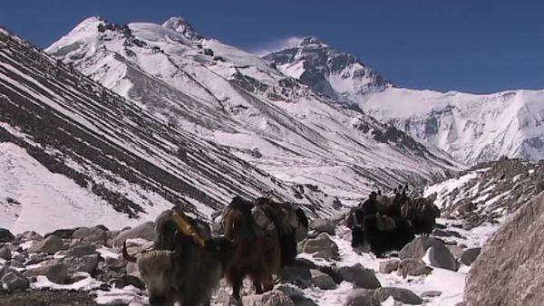 Yaks with walking with Everest in the background Royalty-free stock video