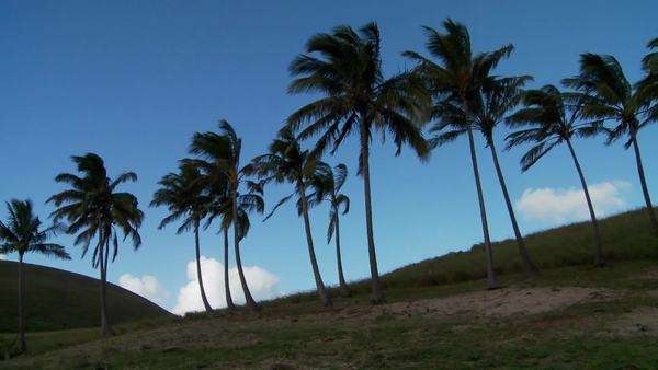 Pan across rows of palms blowing in the wind on a South Sea island. Royalty-free stock video