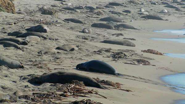Elephant seals move up the beach. Royalty-free stock video