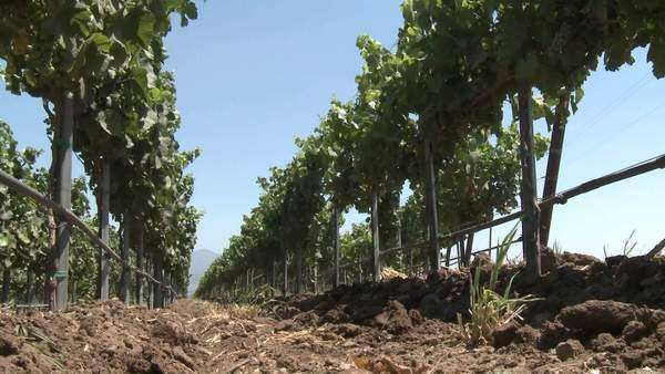 Low angle view of the wind blowing vines in Monterey County vineyard California Royalty-free stock video