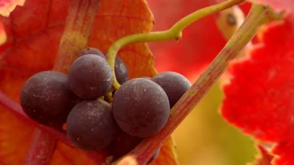 Red wine grapes and fall colors. Royalty-free stock video