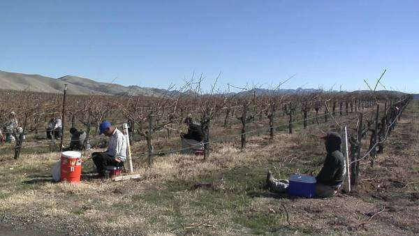 Field workers break for lunch while pruning dormant vines in a California vineyard. Royalty-free stock video