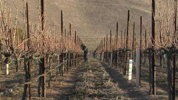 A move in on a field worker pruning dormant grape vines in a California vineyard. Royalty-free stock video
