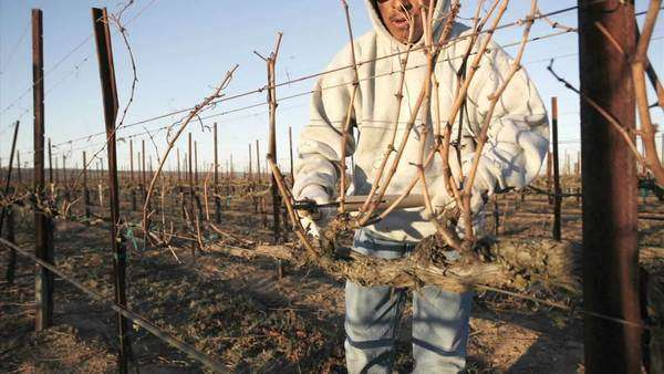 A pruning crew trims dormant vines in a California vineyard. Royalty-free stock video