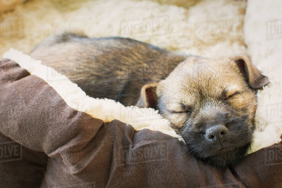 Close Up Sleeping Puppy Dog In Dog Bed Stock Photo Dissolve