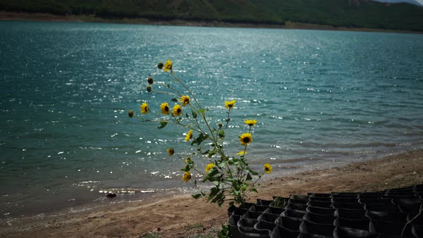 Medium shot of wild flowers on the shore of mountain lake Royalty-free stock video