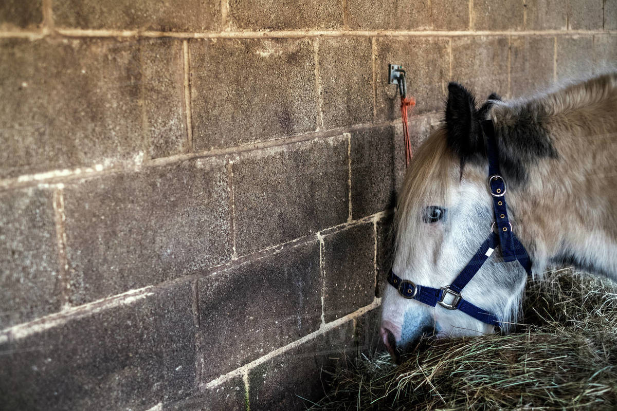 White Cob horse standing in stable, eating hay. Royalty-free stock photo