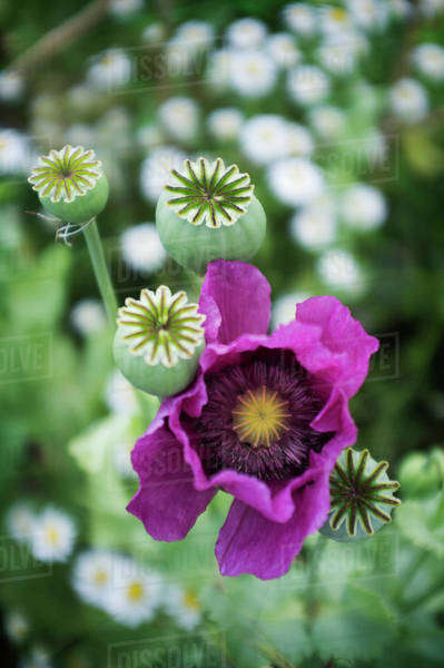 A large purple flowering poppy,  Papaver somniferum Royalty-free stock photo