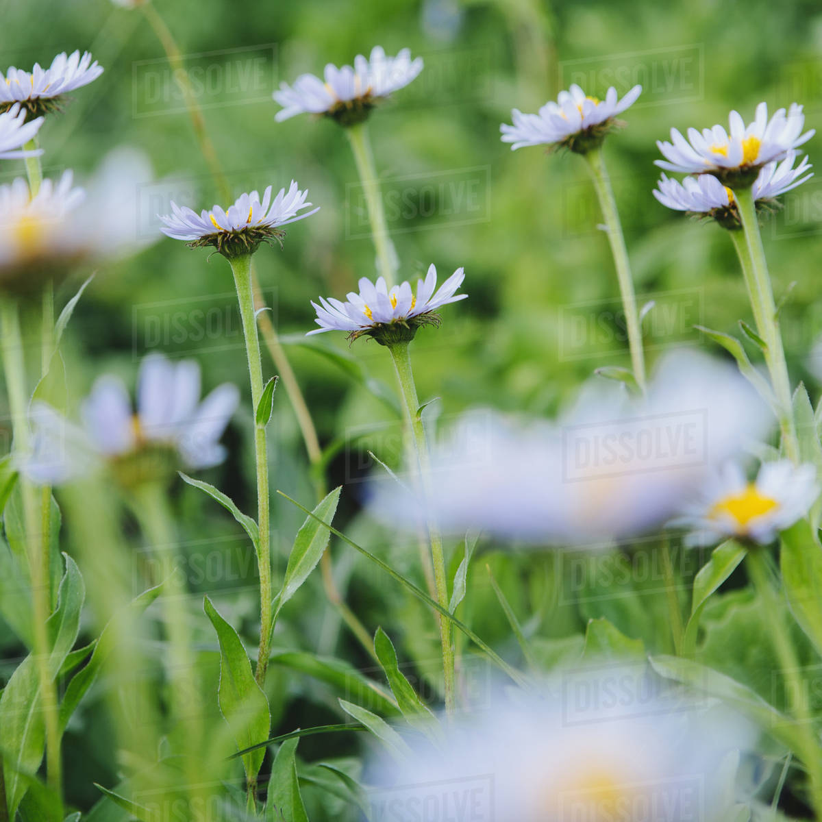 Alpine Asters Daisy Like Flowers In Lush Green Meadow At Mount