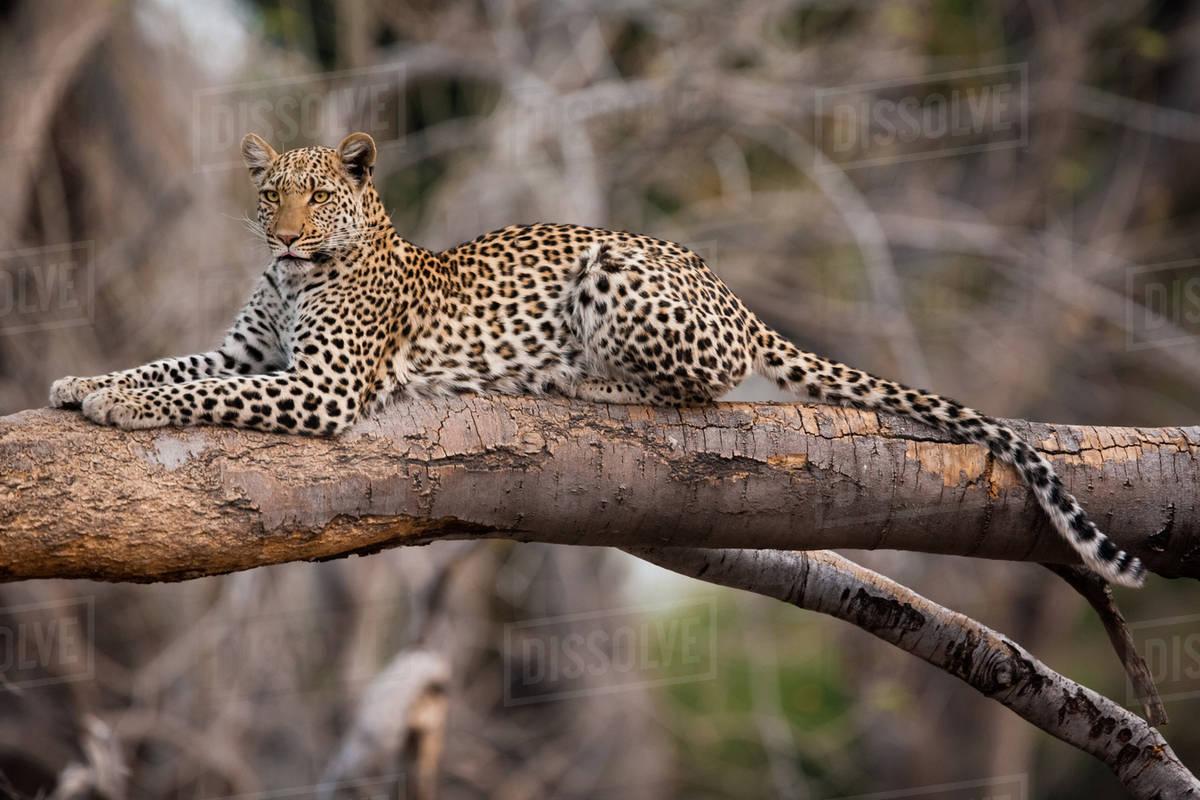 Leopard, Chobe National Park, Botswana Royalty-free stock photo