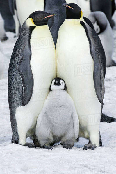 Two adult Emperor penguins and a baby chick nestling between them. Royalty-free stock photo