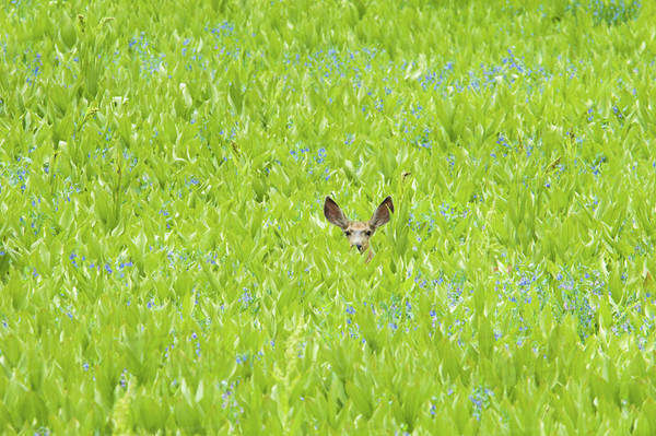 A mule deer hiding in a field of wild flowers and plants, false hellebore. Ears visible. Royalty-free stock photo