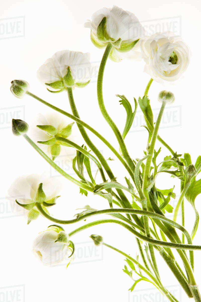 Delicate Flowers With Long Thin Stalks On A White Background