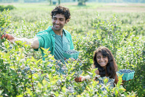 A young girl and a man standing surrounded by blueberry plants, harvesting the berries. Royalty-free stock photo