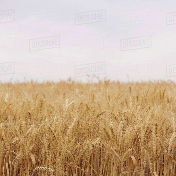 A field of ripening wheat growing, near Pullman in Whitman County.  Royalty-free stock photo