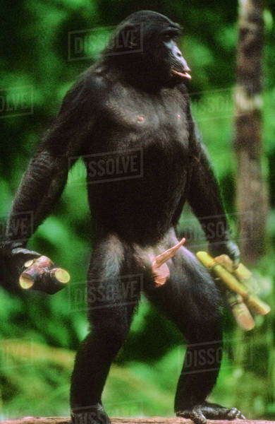 picture of chimpanzees sexing ladies or girls