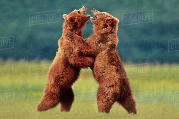 Brown bears sparring, Ursus arctos, Katmai National Park, Southeast Alaska Rights-managed stock photo