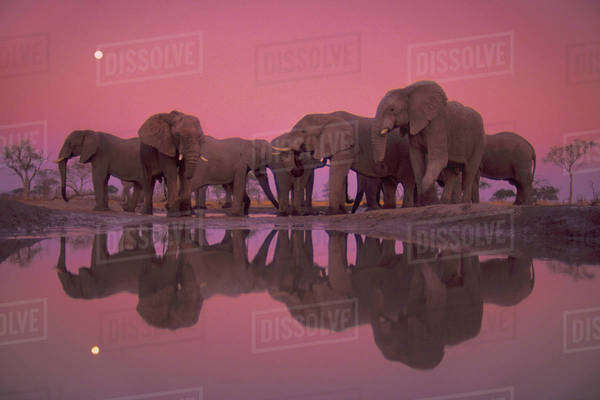African elephants at twilight, Loxodonta africana, Chobe National Park, Botswana Rights-managed stock photo