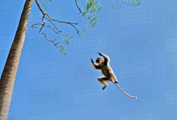 Verreaux's Sifaka, Propithecus verreauxi, leaping to baobab tree, Adansonia sp., Berenty Reserve, Madagascar Rights-managed stock photo