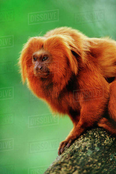 Golden lion tamarin, Leontopithecus rosalia, Atlantic Forest, Brazil Rights-managed stock photo