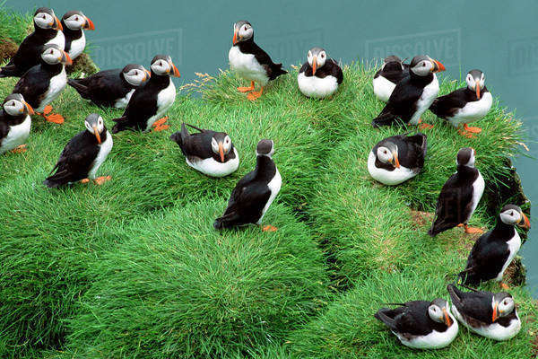Atlantic puffins, Fratercula arctica, on a grassy clifftop in Iceland Rights-managed stock photo