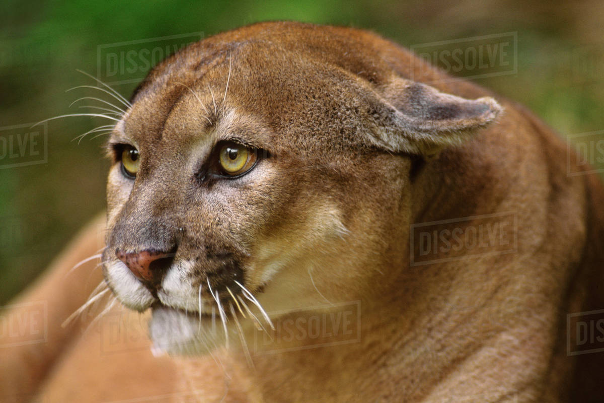 c21fa1e966d Florida panther, Puma concolor coryi, Florida, USA - Stock Photo ...