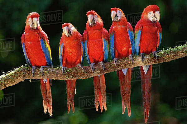 Scarlet macaws, Ara macao, perched in a row on a vine, in Tambopata National Reserve, Peru Rights-managed stock photo