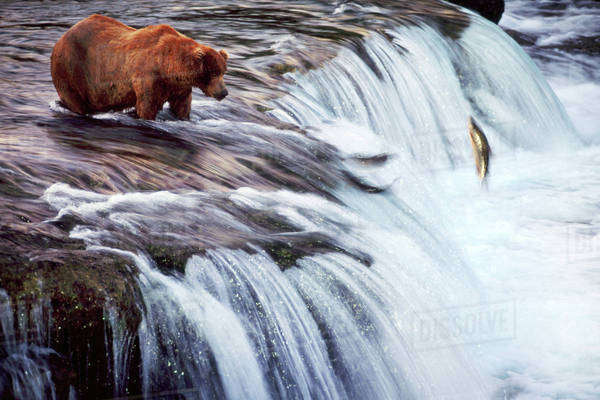 Brown bear fishing for salmon, Ursus arctos, Katmai National Park, Alaska Rights-managed stock photo
