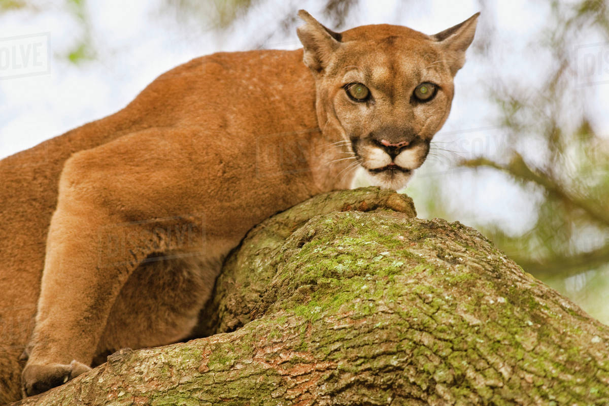 1db26435ddf Florida panther in tree, Puma concolor coryi, White Oak Conservation  Center, Florida