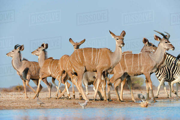 Greater kudus at waterhole, Tragelaphus strepsiceros, Etosha National Park, Namibia Rights-managed stock photo