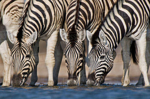 Zebras drinking at waterhole, Equus quagga, Etosha National Park, Namibia Rights-managed stock photo