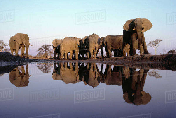 African elephant herd at waterhole, Loxodonta africana, Chobe National Park, Botswana Rights-managed stock photo