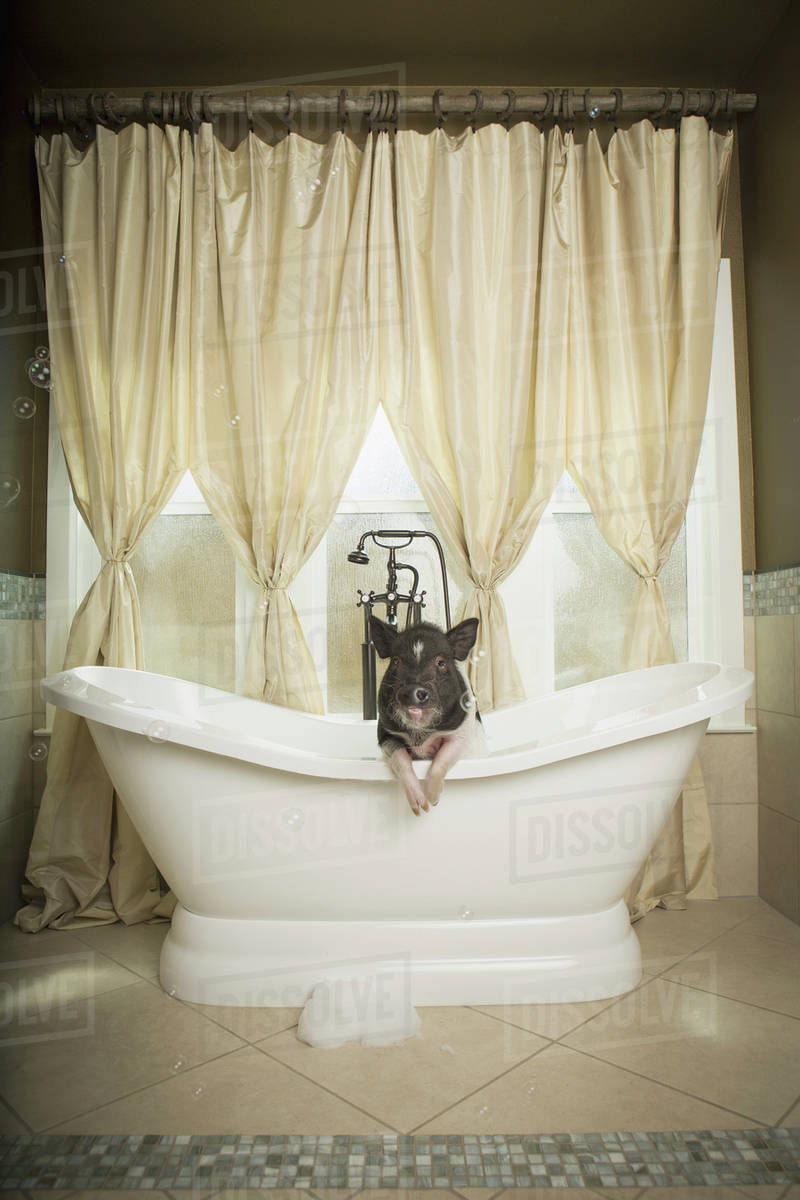 A Mini Pot Bellied Pig In Bathtub Looking Through The Shower Curtain