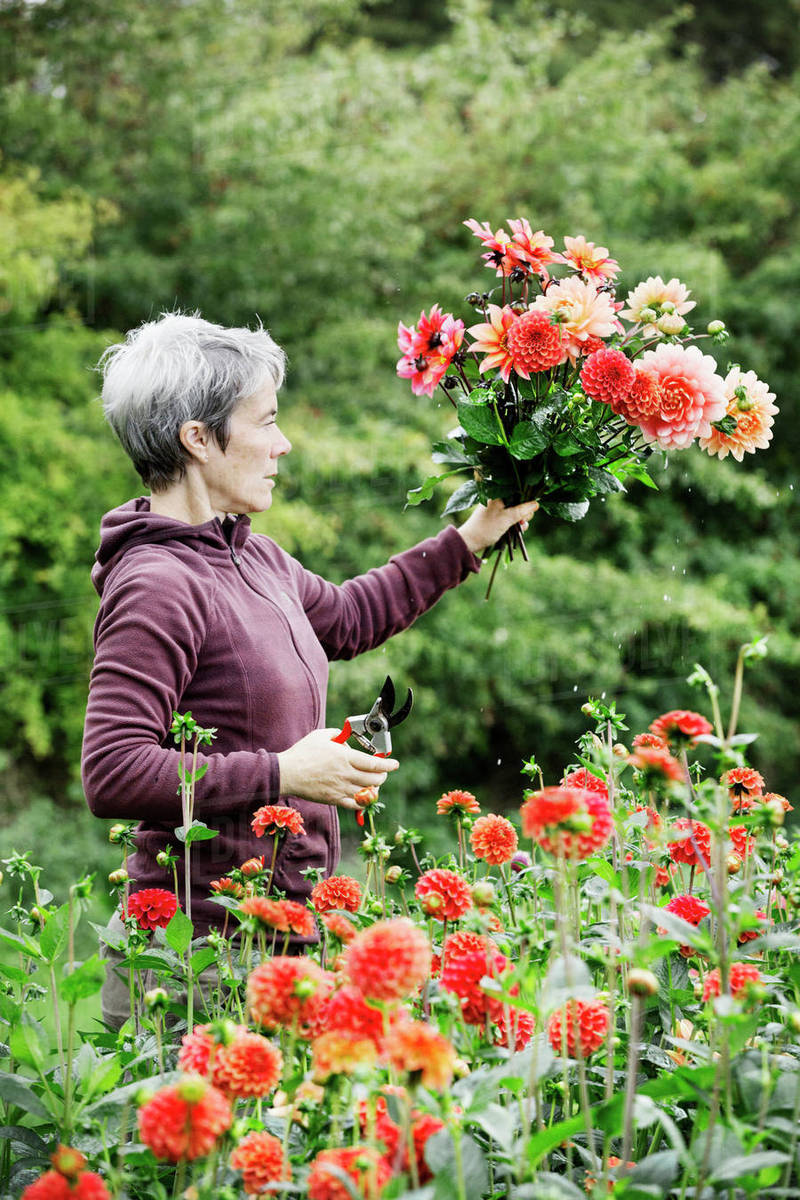 A Woman Cutting Flowers In An Organic Commercial Plant Nursery D1024 74 084