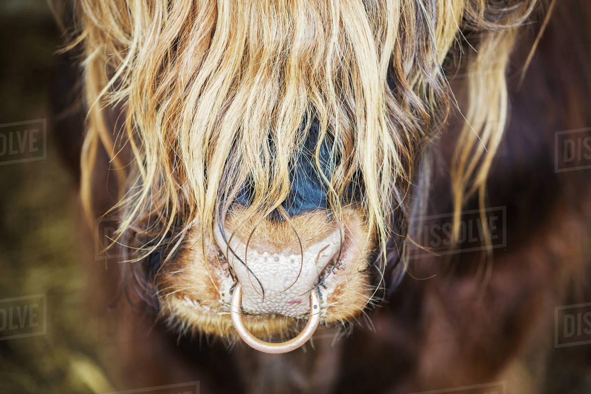 Close Up Of A Long Haired Bull With A Nose Ring Stock Photo